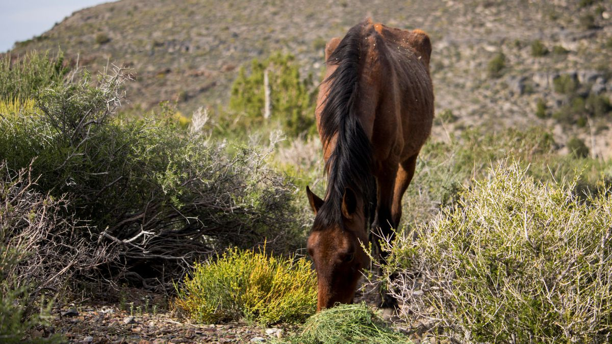 The U.S. Forest Service provided this photograph of a distressed horse.