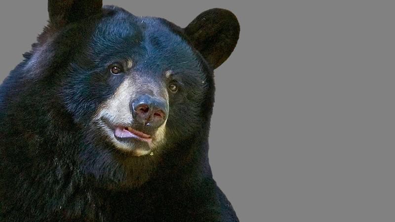 Black bear graphic