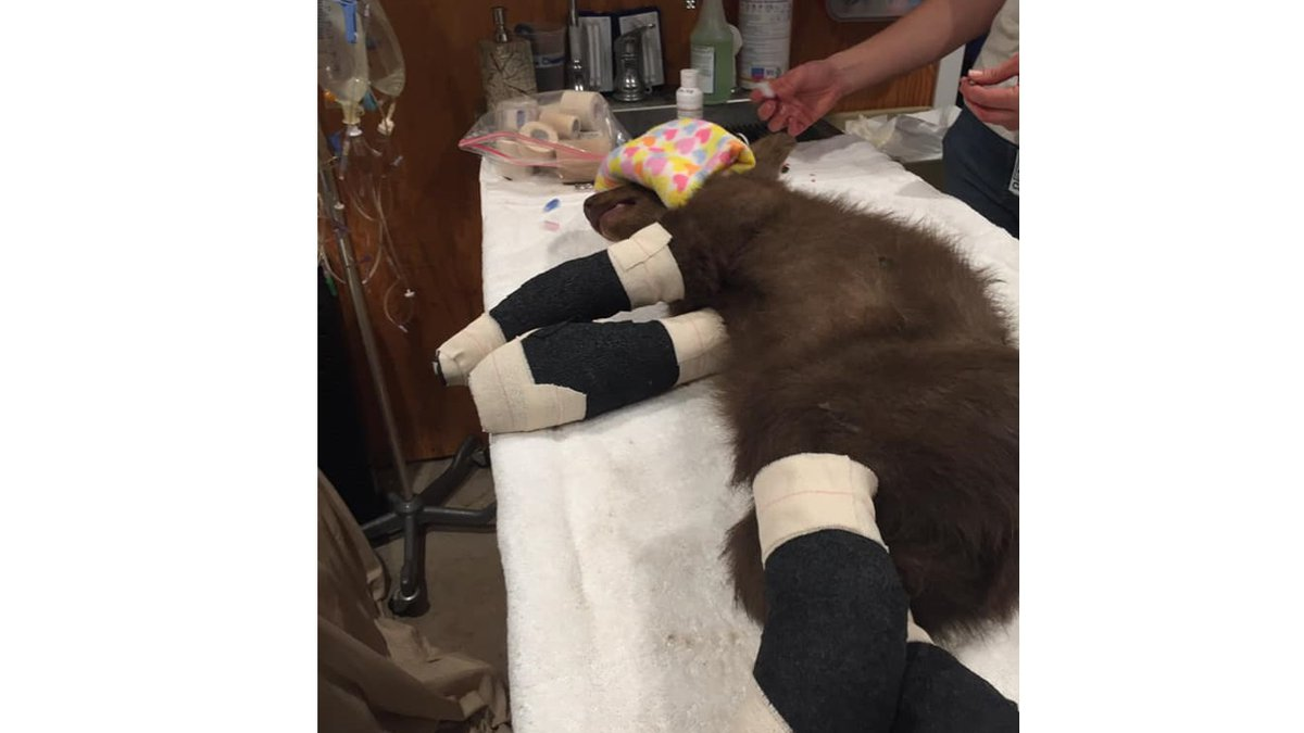 Tamarack the bear is recovering after being burned in the Tamarack Fire.