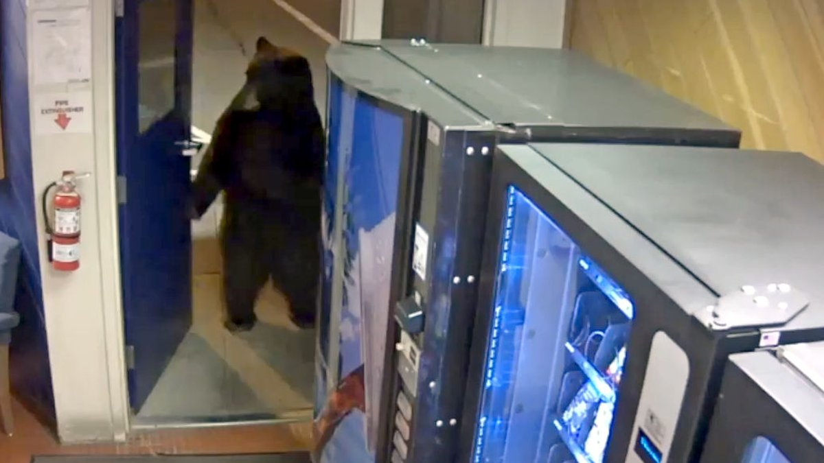 This is a screenshot of a video released by the California Highway Patrol that shows a bear...