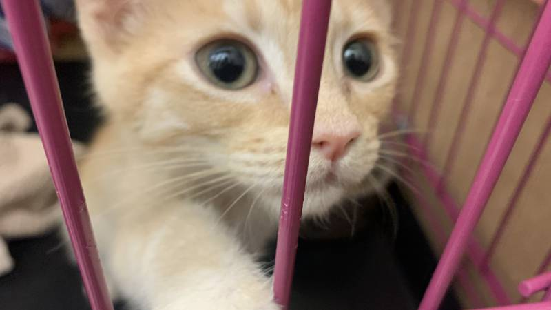 A kitten up for adoption at the Nevada Humane Society.