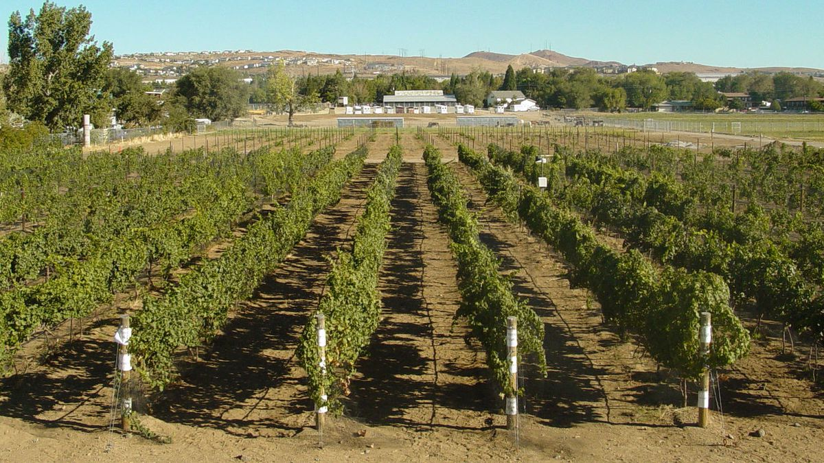 The vineyard at the University of Nevada, Reno Agricultural Experiment Station. Photo: Grant Cramer, Nevada Agricultural Experiment Station.