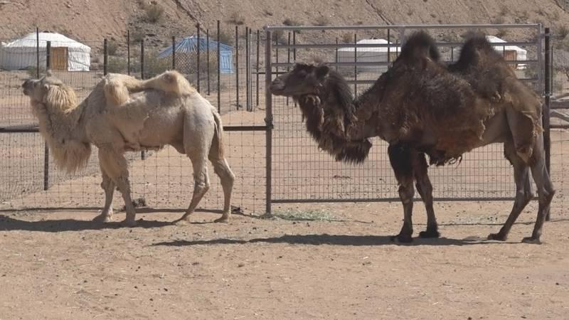 Camel Safari Las Vegas is located in Eastern Clark County near Mesquite