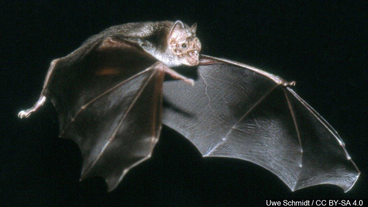 Vampire bat. Photo by Uwe Schmidt / CC BY-SA 4.0