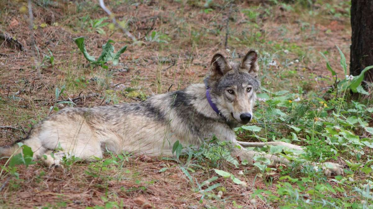 In this Feb. 2021, photo released by California Department of Fish and Wildlife shows a gray...