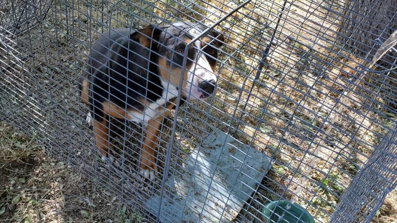 One of three feral dogs sought in Carson City, Tribal Animal Control was able to trap this one.