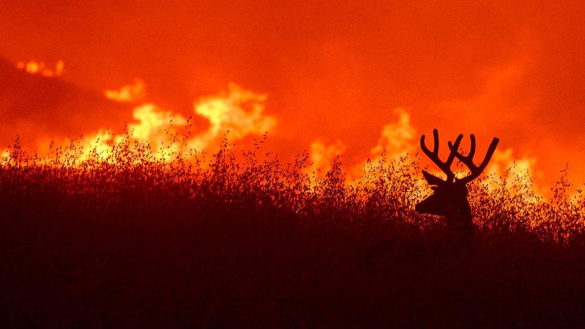 A deer flees flames as the Quail Fire burns near Winters, Calif., on Saturday, June 6, 2020....