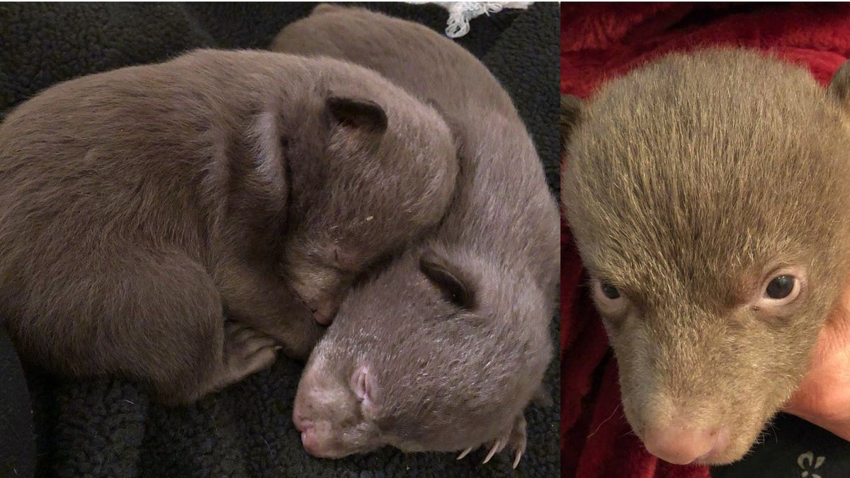 The California Department of Fish and Wildlife released these photographs of orphaned bear cubs.