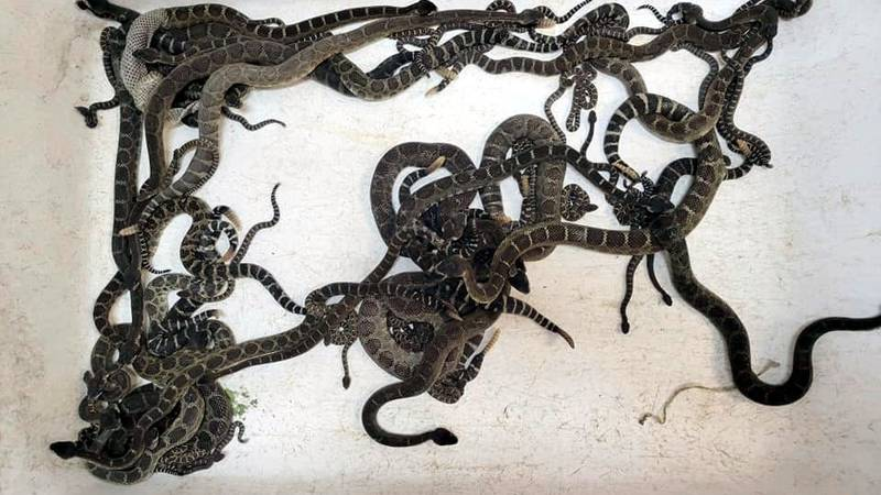 This Oct. 2, 2021 shows a group of venomous Northern Pacific rattlesnakes which were extracted...