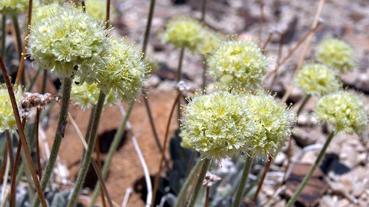 Tiehm buckwheat.  Photo by Jim Morefield /Nevada Natural Heritage Program.