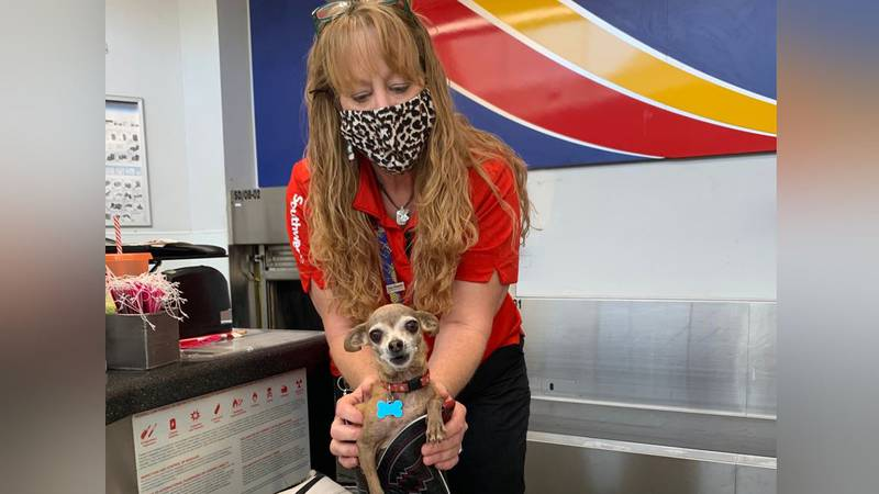 A Chihuahua belonging to a Lubbock, Texas, couple stowed away in their luggage.