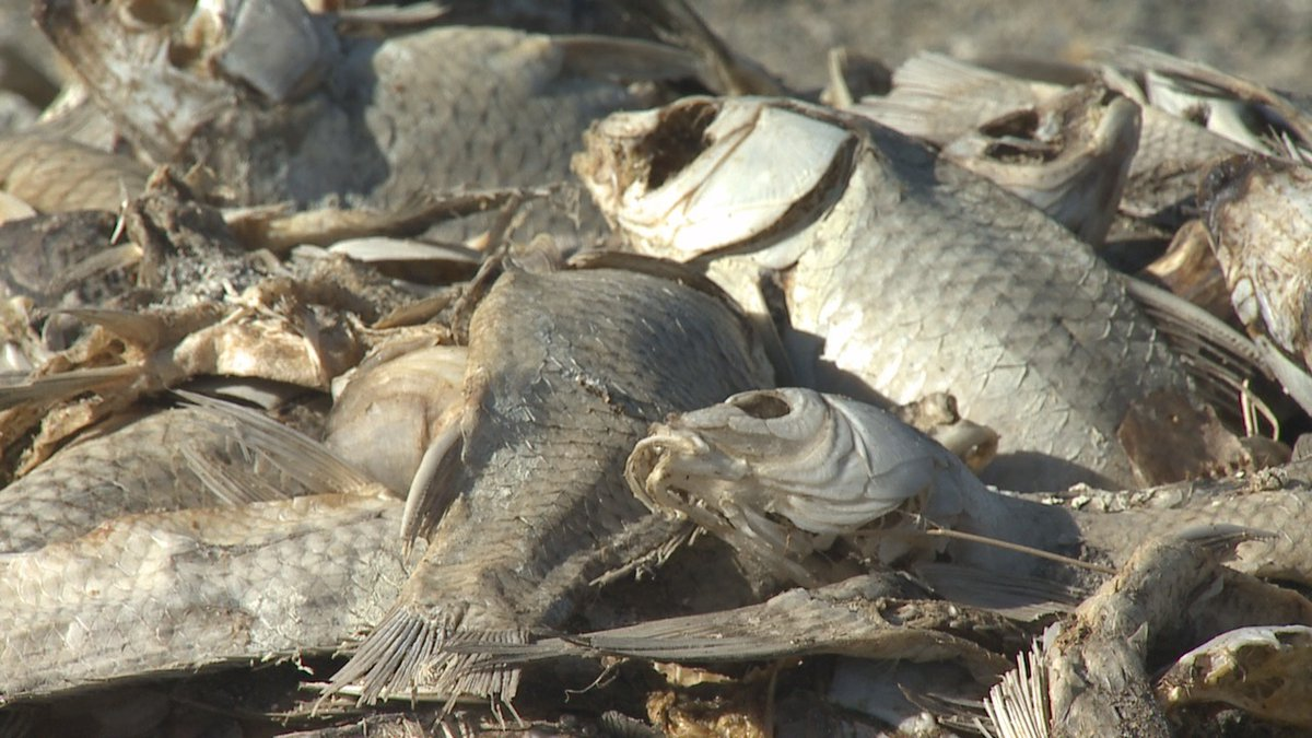 Dead Fish Pile at the south end of Rye Patch Reservoir
